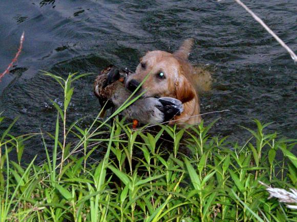 Labrador Retriever Training, Hunting Retriever Trainers, Gun