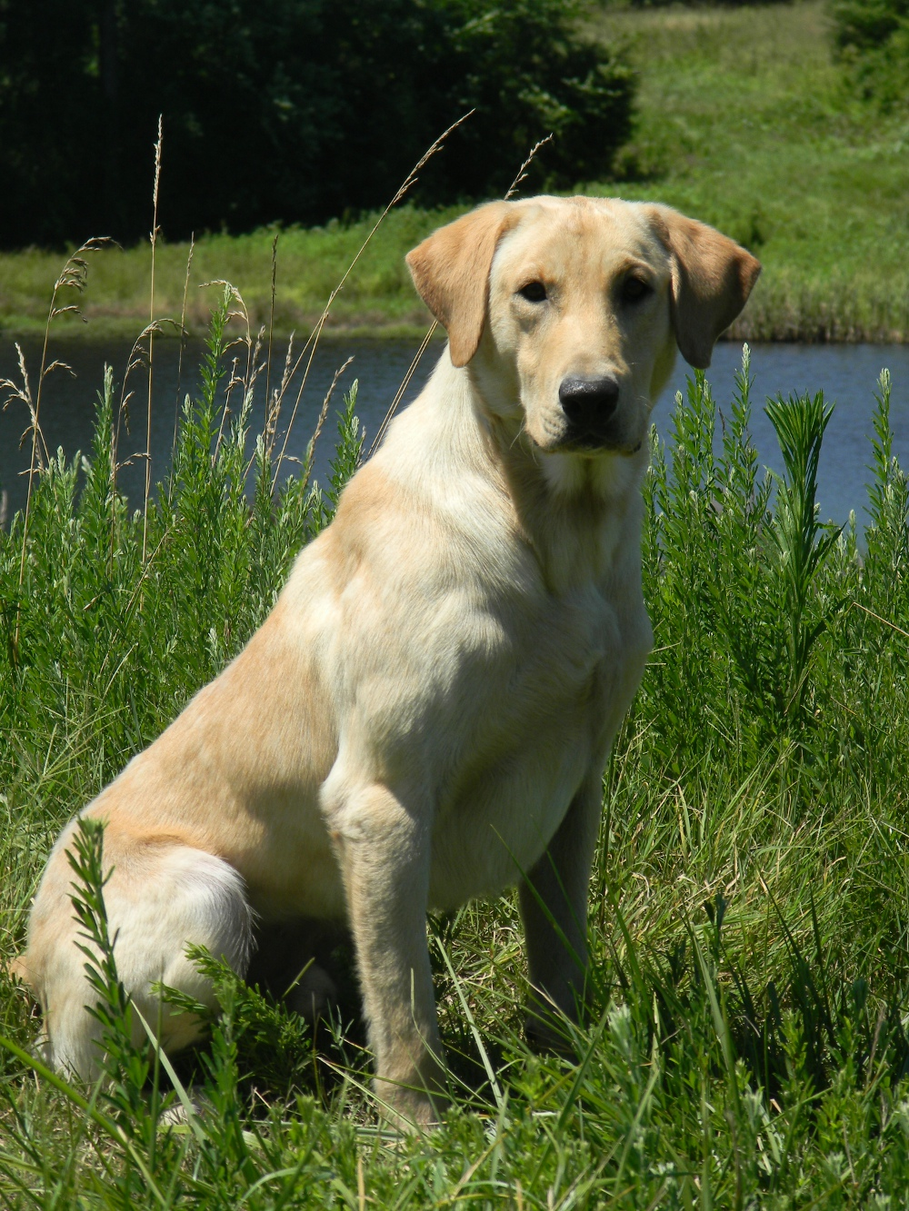Labrador Training Breeding
